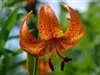 MICHIGAN DAY LILY