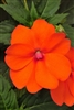 NEW GUINEA IMPATIENS 'AUGUST' ANNUAL TROPICAL Z 8+