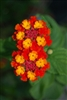 LANTANA 24 VARIETIES LISTED HERE ANNUAL/PERENNIAL TROPICAL Z 9+
