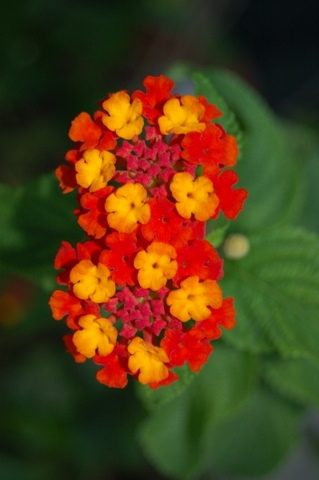 Lantana lantana 24 varieties listed here annualperennial tropical z 9 mightylinksfo