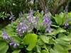 HOSTA VENTRICOSA LARGE GREEN PURPLE FLOWER Z 3-9
