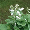 HOSTA PLANTAGINEA 'ROYAL STANDARD'  lily-like white flowers Z 3-9