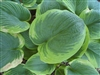 HOSTA SIEBOLDIANA 'FRANCES WILLIAMS' BLUISH-GREEN GOLD MARGINS LAVENDER BLOOM Z 3-9