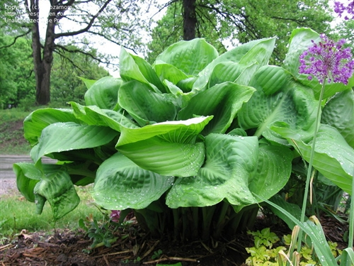 Hosta Sum And Substance Ex Large Gold Leaves Lavender Flowers Z 3 9