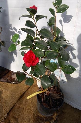 Camellia Professor Sargent Camellia Japonica Brilliant
