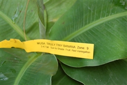 Banana Musa 'Truly Tiny' Banana is the smallest edible fruit producing banana in the world Zone 9