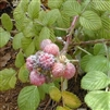 RASPBERRY COMBO OF 3  RASPBERRY PLUGS-Rubus Mysore/Glencoe/Caroline Zone 4, 5, or 8