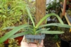 "VANDA ROBERT'S DELIGHT 'BIG' VR 912-Vanda Orchid 4"" Hanging basket Tropical Zone 9+"