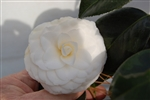 CAMELLIA WHITE BY THE GATE CAMELLIA-Camellia japonica-Double White Bloom Zone 7 Zone 7-9