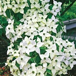 DOGWOOD KOUSA WHITE FLOWERING DOGWOOD-Cornus kousa chinensis-White Blooms Red Berries Zone: 5