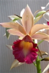 ORCHID PHAIUS LADY RAMONA Tropical Z 9+