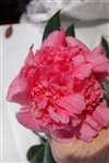 CAMELLIA ACK-SCENT-Camellia japonica-Double Pink Bloom Zone 7