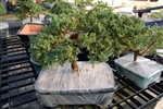 JUNIPER-procumbens nana-finished in pot