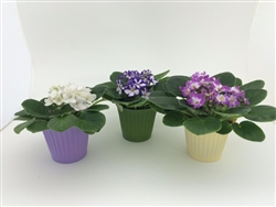 "AFRICAN VIOLET-Saintpaulia 4"" Tropical Zone 9+"