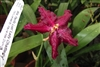 WILSONARA PACIFIC LUST 'LADY CHATTERLY' TROPICAL Z 9+