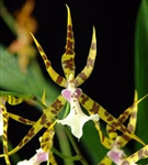 Y548 MILTOSSIA GOLDEN SPIDER 'COPIUS' TROPICAL Z 9+