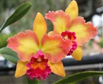 Blc Mary Ellen Carter X Sib Tropical Z 9+
