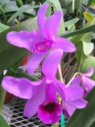 Cattleya bowringiana parent v. coerulea x self Tropical Z 9+