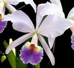 Cattleya jenmanii  v. coerulea x self   Tropical Z 9+