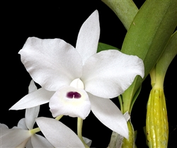 C. shinneri alba White blossom with spot of Purple Zone 9+ Tropical