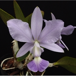 C. Guttuta alba x  C. Walkeriana  Originally from Brazil Zone:  9+ Tropical