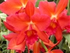 OUT TILL SUMMER  T-4548 Slc. Rajah's Ruby 'Sweetheart'-Red-Orange Bloom Tropical  Z 9+