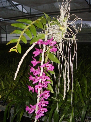 Dendrobium Honohono Anosmum