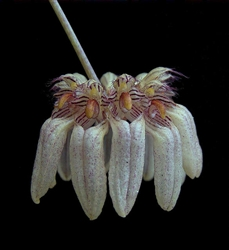 BULBOPHYLLUM ROXBURGHII 'GOLD COUNTRY''-Light Tan Almost White with Reddish Brown Lips in Multibloom Profusion