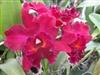 T-4550 Edisto Mendenhal Cattleya-Dark Red Bloom  Tropical Z 9+