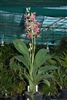 PHAIUS LADY RAMONA LOOKING AT YOU  Tropical Z 9+