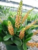 ORCHID LIPARIS GROSSA-Multiple Orange Blooms on Long Spikes Tropical Z 9+