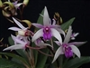 Orchid 870-Den. Anching Lubag x Anand Satyanand-Tropical Zone 9+