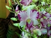 Orchid 872-Den. Burana Jade x Anand Satyanand-HybridTropical Zone 9+