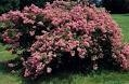 Crape Myrtle-Lagerstroemia Caddo Bright Pink Blooms Zone 7