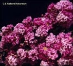 Crape Myrtle-Lagerstroemia Catawba Violet-Purple Blooms Zone 7