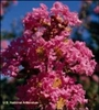 Crape Myrtle-Lagerstroemia Choctaw Bright Pink Blooms Zone 7