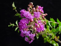 Crape Myrtle-Lagerstroemia Dwarf Royalty Royal Purple Blooms Zone 7