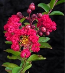 Crape Myrtle-Lagerstroemia Red Rocket Dark Red Blooms Zone 7