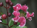 Crape Myrtle Lagerstromeia-Peppermint Lace  Reddish Pink with White-edged Blooms   Zone 7