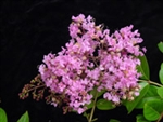 Crape Myrtle Lagerstroemia-Osage  Clear Pink Blooms Zone 7