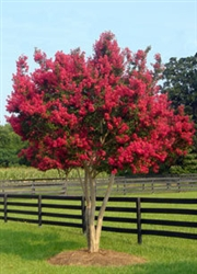 Crape Myrtle Lagerstroemia-Tonto   Red Blooms Zone 7