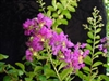 Crape Myrtle Lagerstroemia--Twilight   Dark Purple Blooms Zone 7