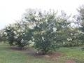 Crape Myrtle Lagerstroemia--Sarah's Favorite   White Blooms Zone 7