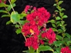 Crape Myrtle Lagerstroemia-- Dynamite  Cherry Red Blooms Zone 7