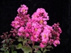 Crape Myrtle Lagerstroemia-- Pink Velour Bright Pink  Blooms Zone 7