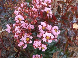 Crape Myrtle Lagerstroemia-- Rhapsody in Pink   Soft Pink Blooms Zone 7