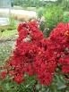 Crape Myrtle Lagerstroemia-- Siren Red   Oxblood Bright Red Blooms Zone 7