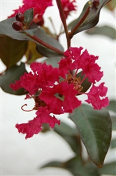 Crape Myrtle Lagerstroemia-- Double Feature  Ruby Red Blooms Zone 7