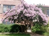 Crape Myrtle Lagerstroemia-- Yuma  Lt. Lavender-Pink Bicolor Blooms Zone 7