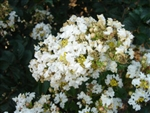 Crape Myrtle Lagerstroemia-- White Chocolate White Blooms Zone 7